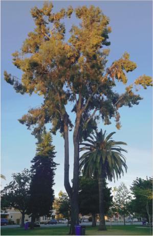 Grey Ironbark Eucalyptus