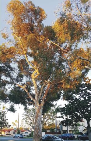 Sugar Gum Eucalyptus